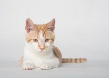 Cute yellow tabby cat on white Royalty Free Stock Photo