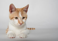 Cute yellow tabby cat on white Royalty Free Stock Image