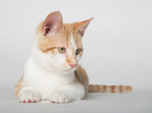 Cute yellow tabby cat on white Stock Image