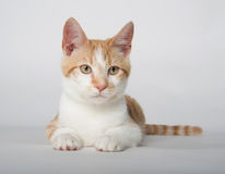 Cute yellow tabby cat on white Stock Photos