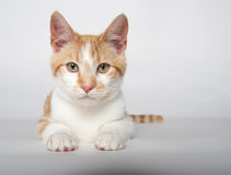 Cute yellow tabby cat on white Royalty Free Stock Photography