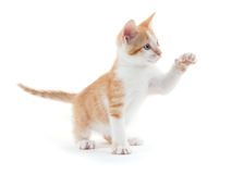 Cute kitten on white. Cute yellow and white kitten isolated on white background Stock Photos