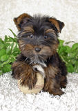 Cute Yorki Puppy Stock Photos