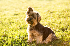 Cute yorkie Stock Photography