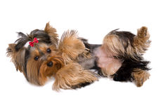 Cute yorkie playing dead - isolated Royalty Free Stock Images