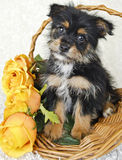 Cute Yorkie-Pom Puppy Royalty Free Stock Photo