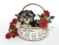 Cute Yorkie Poo Puppy Royalty Free Stock Photos