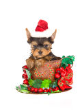 Cute Yorkie pup with santa hat inside xmas cup Royalty Free Stock Photo