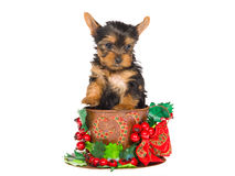 Cute Yorkie pup sitting inside christmas cup Stock Images