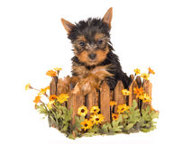 Cute Yorkie pup sitting inside daisie planter. Yorkie puppy sitting inside wooden planter with daisies flowers, on white background Royalty Free Stock Photography