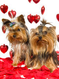 Cute Yorkie puppies with rose petals and hearts. Yorkie puppies sitting on red rose petals with strings of red hearts, on white background Royalty Free Stock Photo