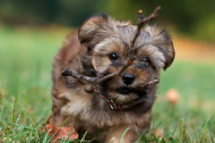 A cute Yorkie and Shih Tzu Stock Images