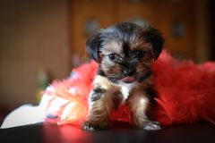 Cute Yorkie Shih Tzu Puppy with Red Boa. Cute Yorkie and Shih Tzu puppy mix sitting next to red boa with tongue sticking out. Great Valentines Day photo royalty free stock images