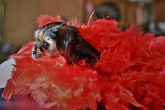 Cute Yorkie Shih Tzu Puppy with Red Boa. Cute Yorkie and Shih Tzu puppy mix sitting next to red boa with tongue sticking out. Great Valentines Day photo Stock Photo