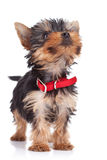 Cute yorkie toy standing Royalty Free Stock Photo