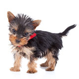 Cute yorkie toy standing Royalty Free Stock Image