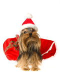 Cute Yorkie wearing Santa hat Royalty Free Stock Photography