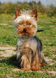 Cute yorkshire. Beautiful litlle purebred yorkshire terrier: cute family dog Stock Photo