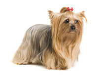 Cute yorkshire dog Royalty Free Stock Photo