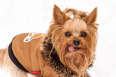Cute yorkshire dog dressed in coat royalty free stock images