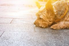 Cute yorkshire dog on leash lying on pavement in the city waiting for the owner. Sad face expression. Friendship fidelity stock photo