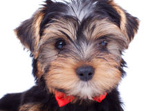 Cute yorkshire puppy with red bow Stock Images