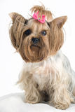 Cute Yorkshire Terrier. With small bow on a white background Royalty Free Stock Photo
