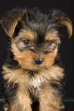 Cute Yorkshire Terrier. A picture of a cute adorable six week old yorkshire terrier Royalty Free Stock Images