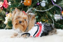 Cute Yorkshire Terrier Royalty Free Stock Photography