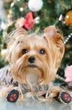 Cute Yorkshire Terrier Stock Photos