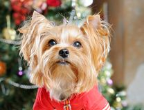 Cute Yorkshire Terrier Stock Photo