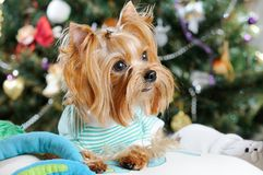 Cute Yorkshire Terrier Stock Image