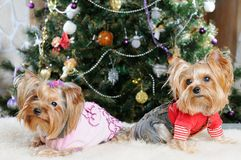 Cute Yorkshire Terrier Royalty Free Stock Image