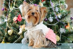 Cute Yorkshire Terrier Stock Photography