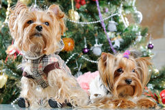 Cute Yorkshire Terrier Royalty Free Stock Photo