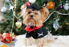 Cute Yorkshire Terrier Royalty Free Stock Images