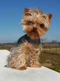 Cute yorkshire terrier Stock Images