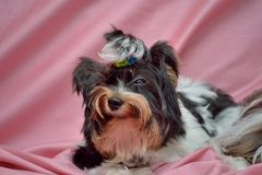 Cute Yorkshire Terrier Royalty Free Stock Photos