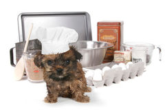 Cute Yorkshire Terrier Chef With Hat Stock Images
