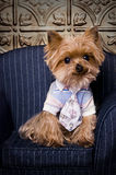 Cute Yorkshire-Terrier dog. Male Yorkshire-Terrier dog wearing a shirt and tie Royalty Free Stock Image