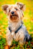 Cute Yorkshire Terrier dog Royalty Free Stock Images