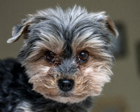 Cute Yorkshire terrier dog Stock Images