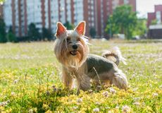 Yorkshire terrier outdoors Stock Photo