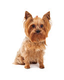 Cute Yorkshire Terrier Dog Sitting Looking At Camera. A cute Yorkshire Terrier Dog sitting while looking directly into the camera Stock Images