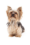 Cute Yorkshire Terrier Dog Sitting Looking Forward Stock Photo