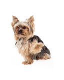 Cute Yorkshire Terrier Dog Sitting With Paw Shake Stock Photo