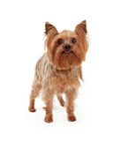 Cute Yorkshire Terrier Dog With Tongue Sticking Out Royalty Free Stock Images