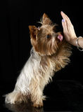 Cute yorkshire terrier give a five in  black photo studio Stock Photography