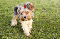 Cute Yorkshire terrier on a grass Stock Photography
