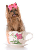 Cute yorkshire terrier with inside teacup Royalty Free Stock Photo